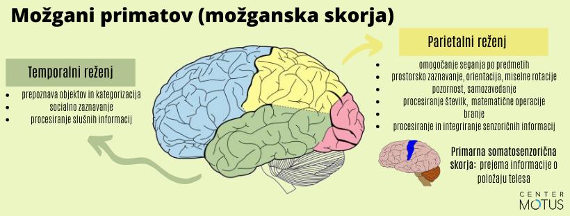 Evolucijski razvoj človeških možganov - režnji