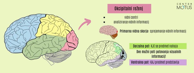 Okcipitalni reženj - infografika in slikovni prikaz