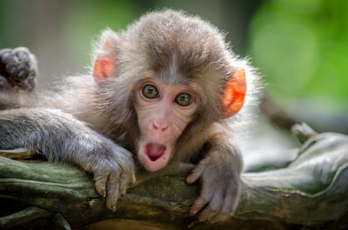 Makaki opice možgani
